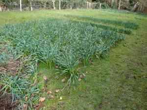 Block of narcissi emerge every Spring