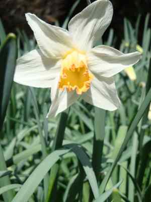 Glaucous blue foliage sets off very well the colouring of Narcissus Mrs RO Backhouse