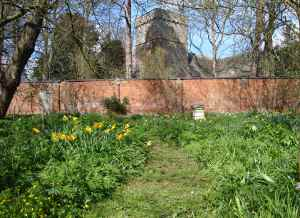 Daffodils in the walled garden overlooked by Sutton St Nicholas church, where the Backhouses are buried
